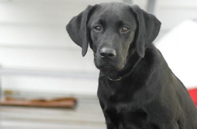 LabradorΠρόβλημα Υγείας