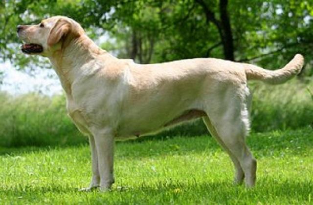 Labrador Athletic