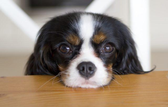 Γιατί ο Σκύλος Μου Με Κοιτάζει Επίμονα;