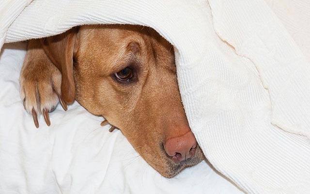Άρρωστος Σκύλος