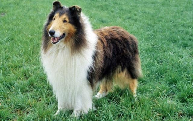 Κόλεϊ - Χνουδωτές Ράτσες Σκύλων