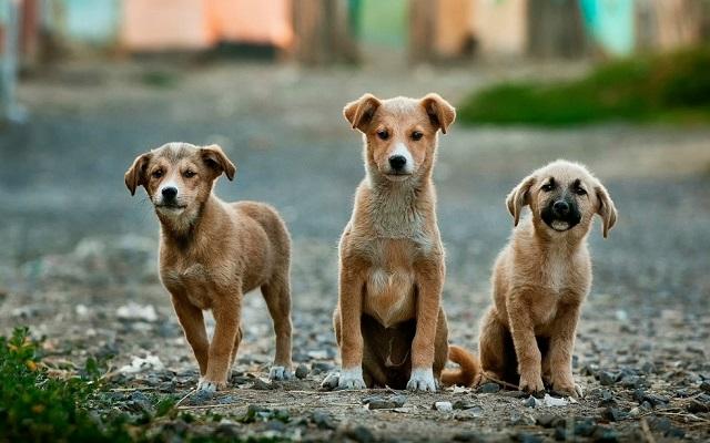 Κορονοιος Σκυλοι