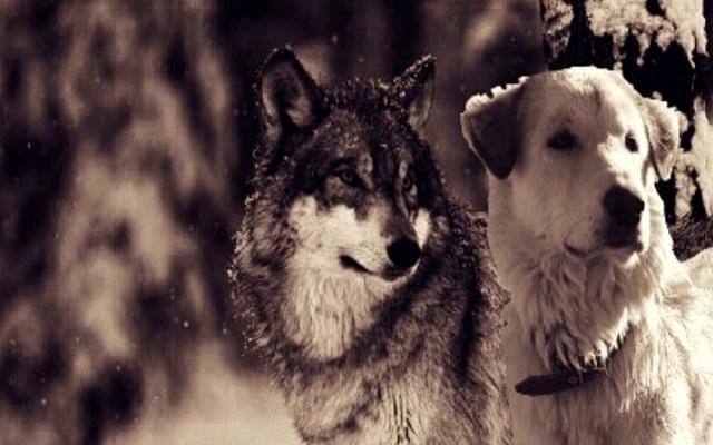 Σκύλος και Λύκος