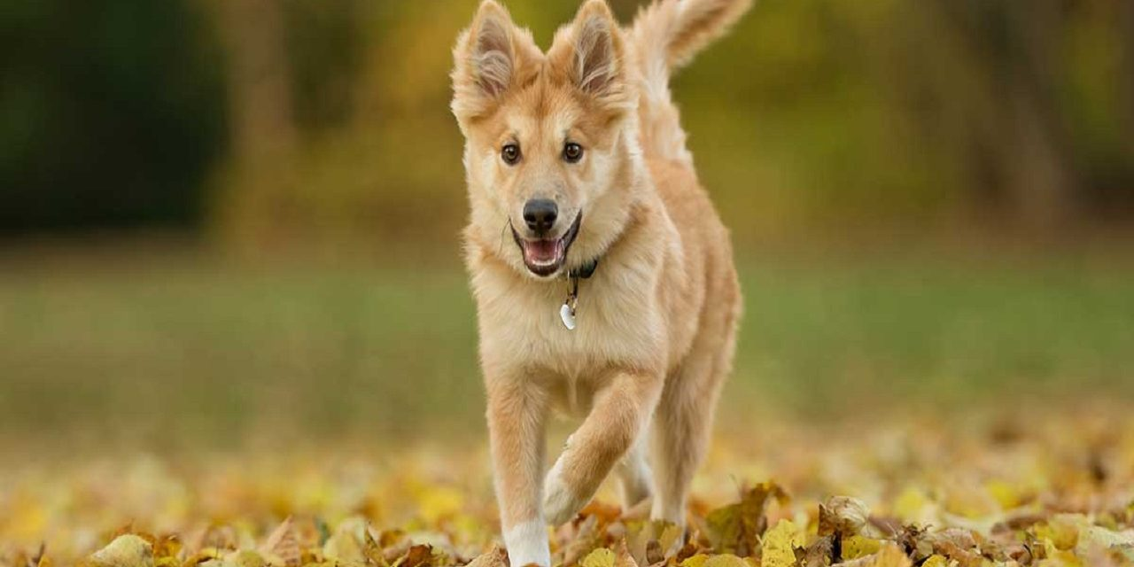 http://dogspotk9.gr/wp-content/uploads/2020/04/Ισλανδικός-Ποιμενικός-1280x640.jpg