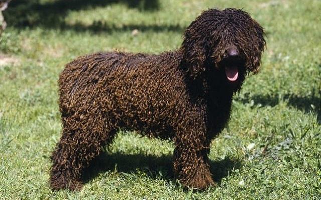 Ισπανικός Σκύλος Νερού