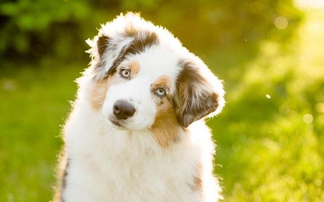 Κρίσεις Σκύλων