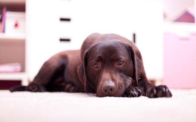 Πόνος Σκύλου