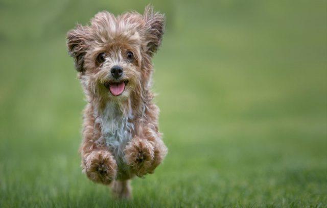 Οι Καλύτερες Φυλές Σκύλων Για Αλλεργικούς